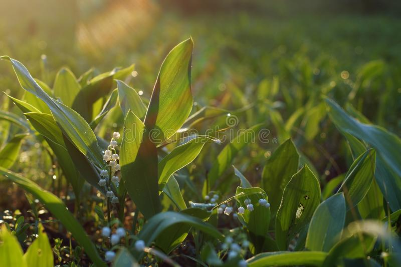 Glade of green leaves and white flowers of lilies of the valley under the morning rays of the sun.  royalty free stock image