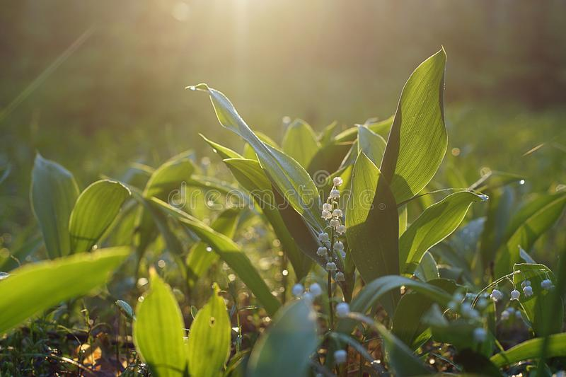 Glade of green leaves and white flowers of lilies of the valley under the morning sun.  stock photo
