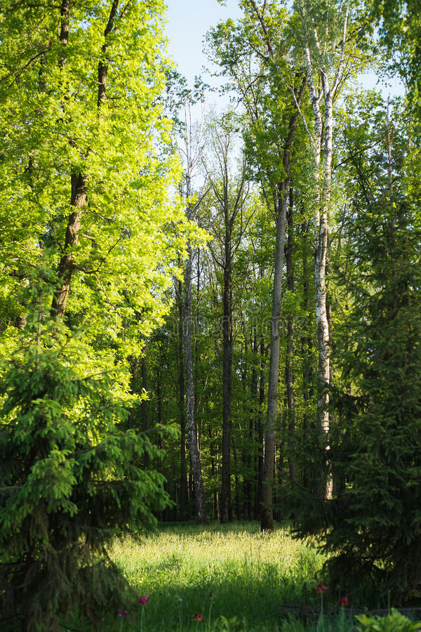 Glade illuminated by sunlight in the mixed forest. Spring evening stock images