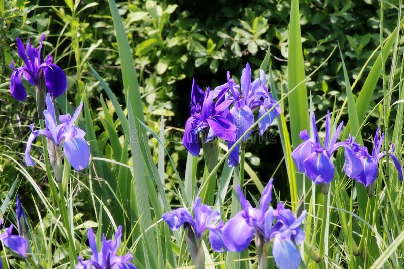 Glade with irises / Blooming meadow in summer bright day / stock images