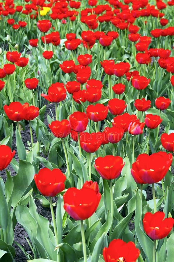 Glade with a lot of red tulips stock photos