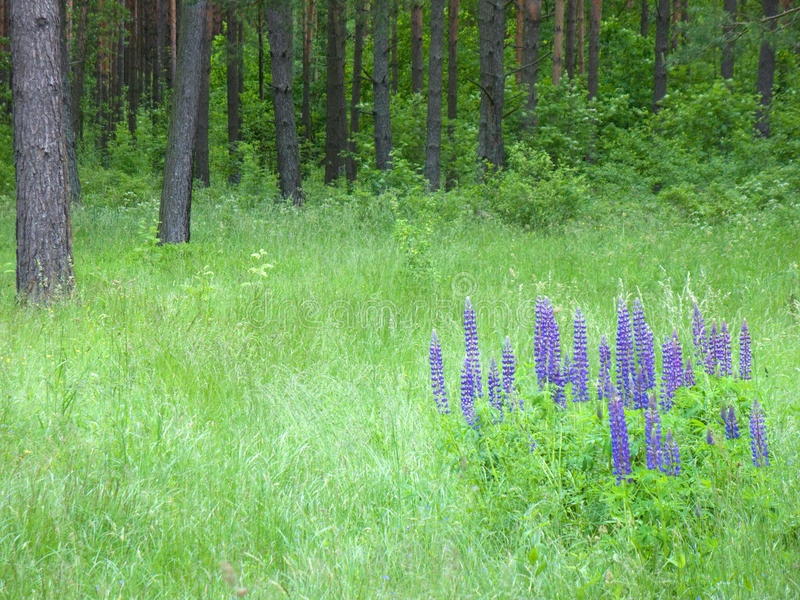 Download Glade with lupine stock image. Image of tree, green, meadow - 14855379