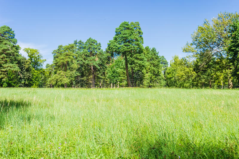 Glade in the park on background of the conifers trees. Large clearing in the park on the background of the conifers trees and a sky with clouds in the summer on royalty free stock photography
