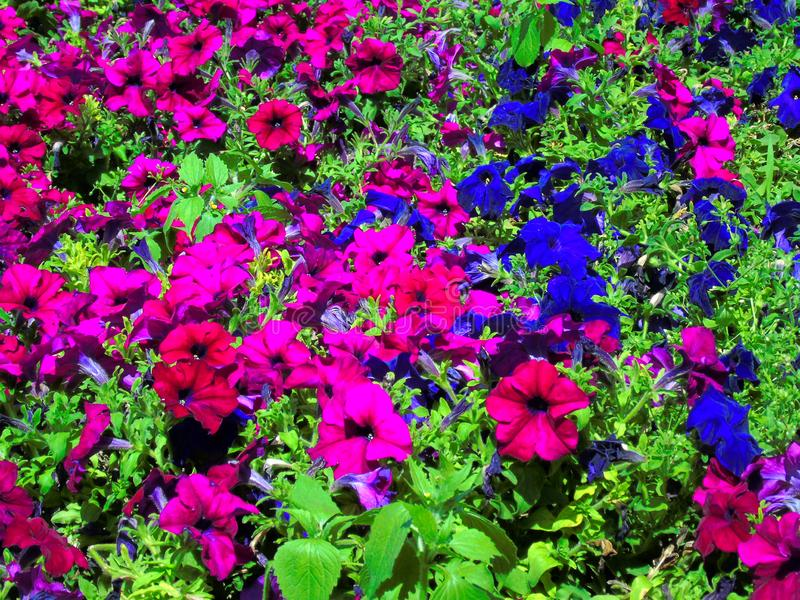 Glade of red and blue flowers royalty free stock photo