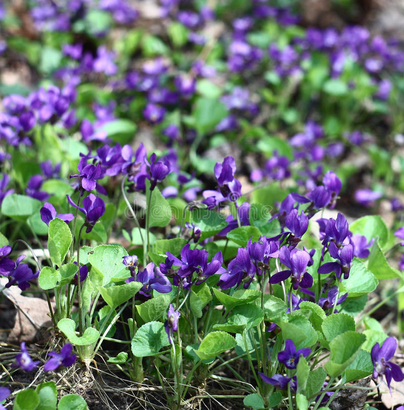 Glade of violas. A considerable quantity of wild violas blossoms on a glade in forest royalty free stock photo