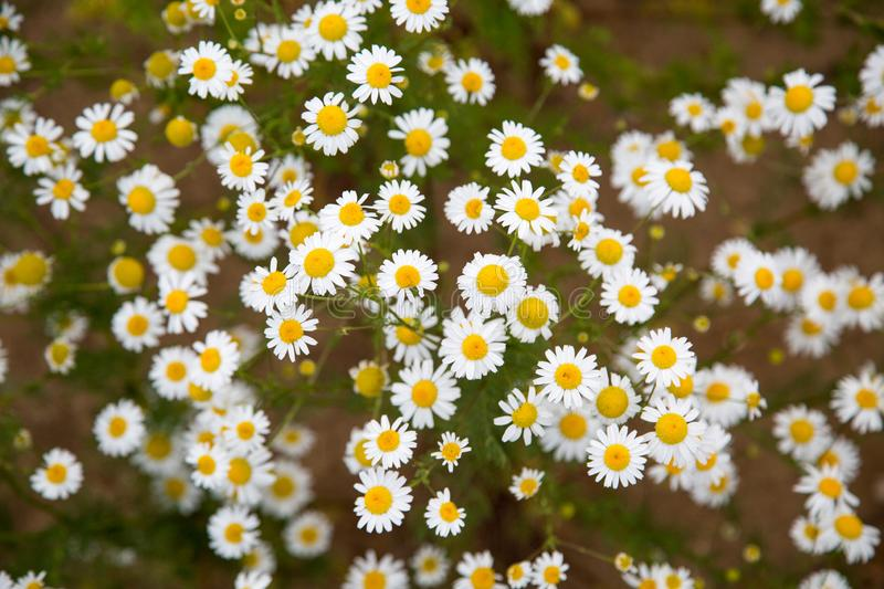 Glade of white chamomile flowers on a clear Sunny day. stock images