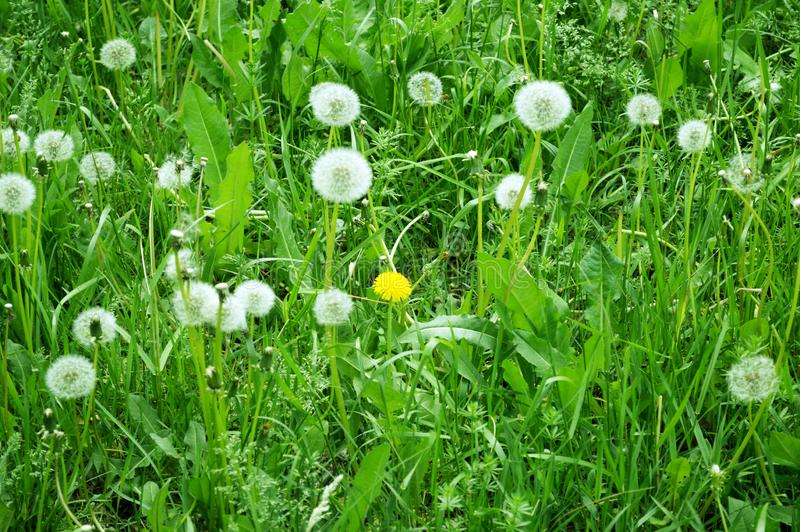 Glade of white fluffy dandelions with one yellow dandelion stock image