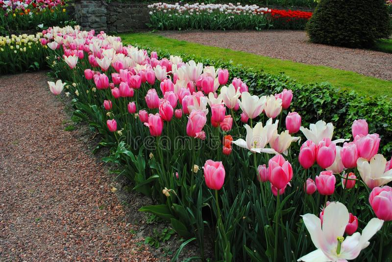 The Glade with white and pink tulips in the Netherlands flowers park stock photos