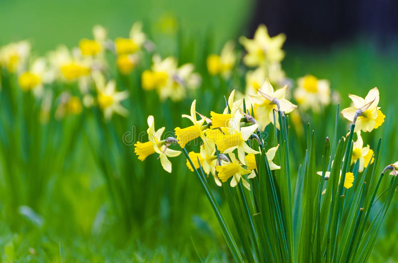 Glade of yellow daffodils flower bed spring stock images