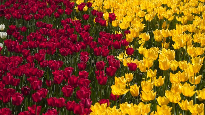 Glade of yellow and red tulips royalty free stock photography