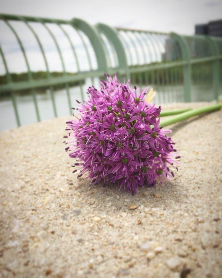 Gladiateur pourpre Allium sur le pont principal photo libre de droits
