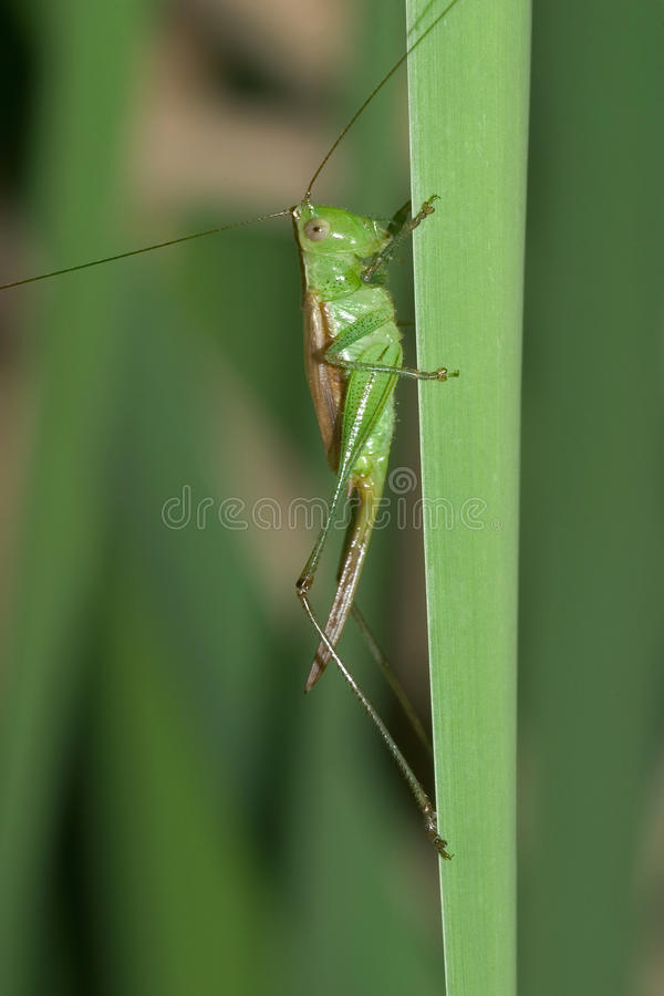 Download Gladiator Meadow Katydid Royalty Free Stock Photography - Image: 19093107