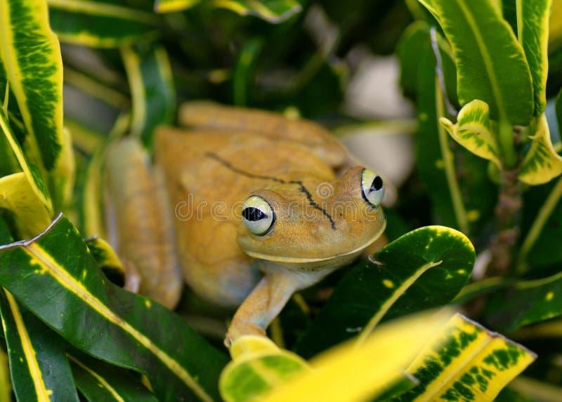 Gladiator Treefrog, Hypsiboas rosenbergi fotografia stock