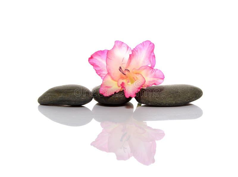 gladiola小卵石 图库摄影