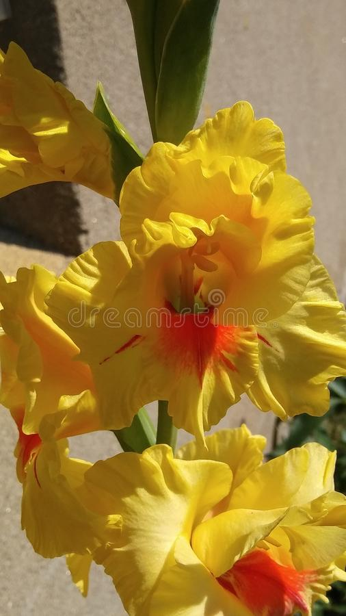 gladiola fotografia stock
