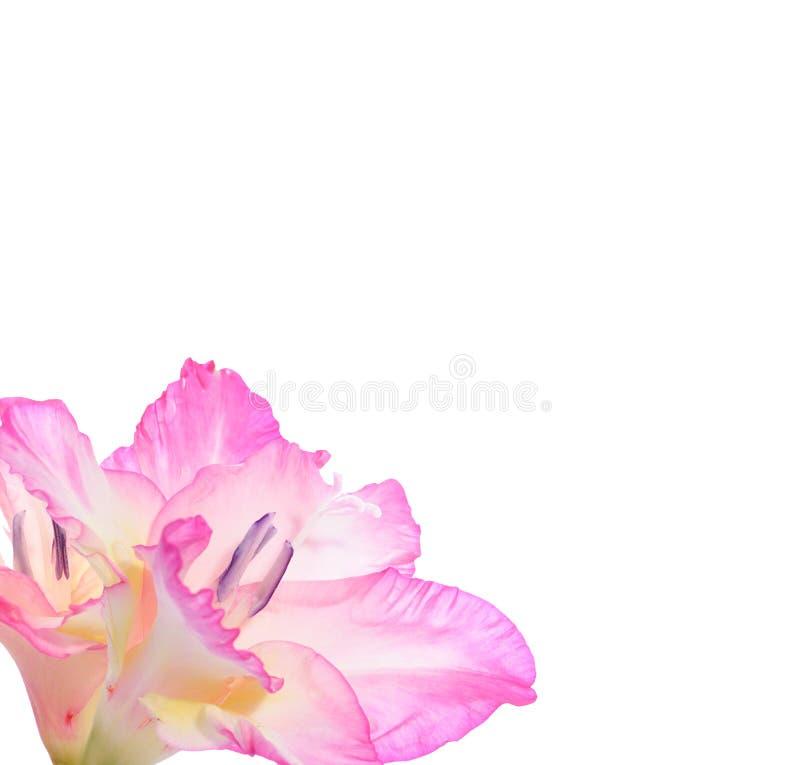 gladiolas zdjęcie stock