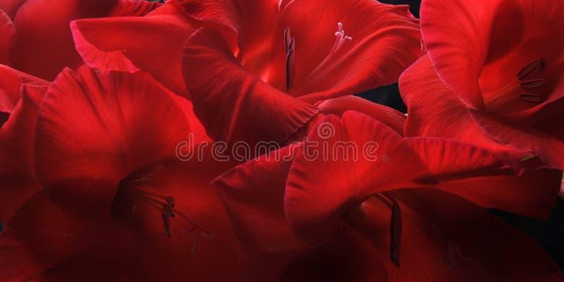 Gladiolas rojo Closep-up fotos de archivo