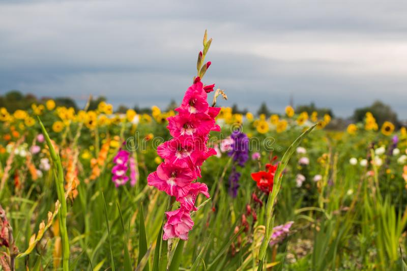 Gladiole on the field, pink gladioli for picking royalty free stock image