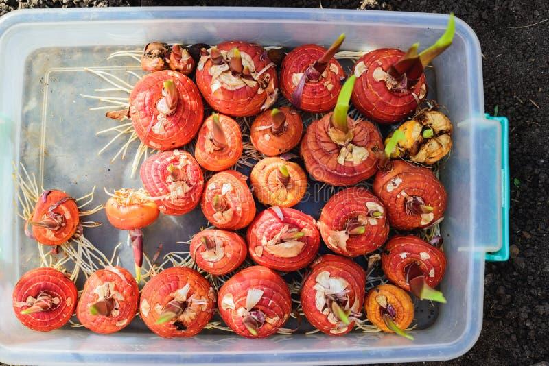 Gladiolenbollen alvorens in plastic doos te planten stock afbeelding