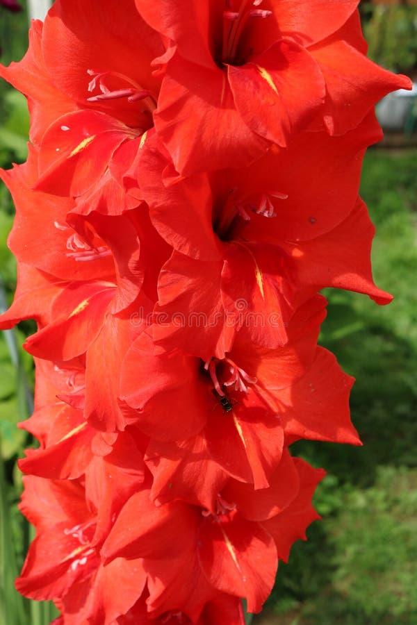 Gladiolenbollen of installaties verwante iris met mooie bloemen royalty-vrije stock afbeelding