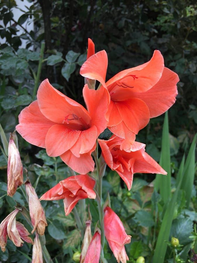 gladioli fotos de stock royalty free