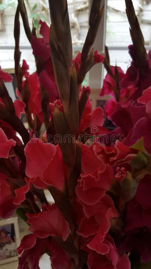 Gladioli royalty free stock image