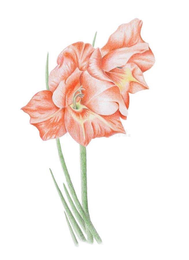 Download Gladioli Flower stock illustration. Image of cute, peace - 16212923