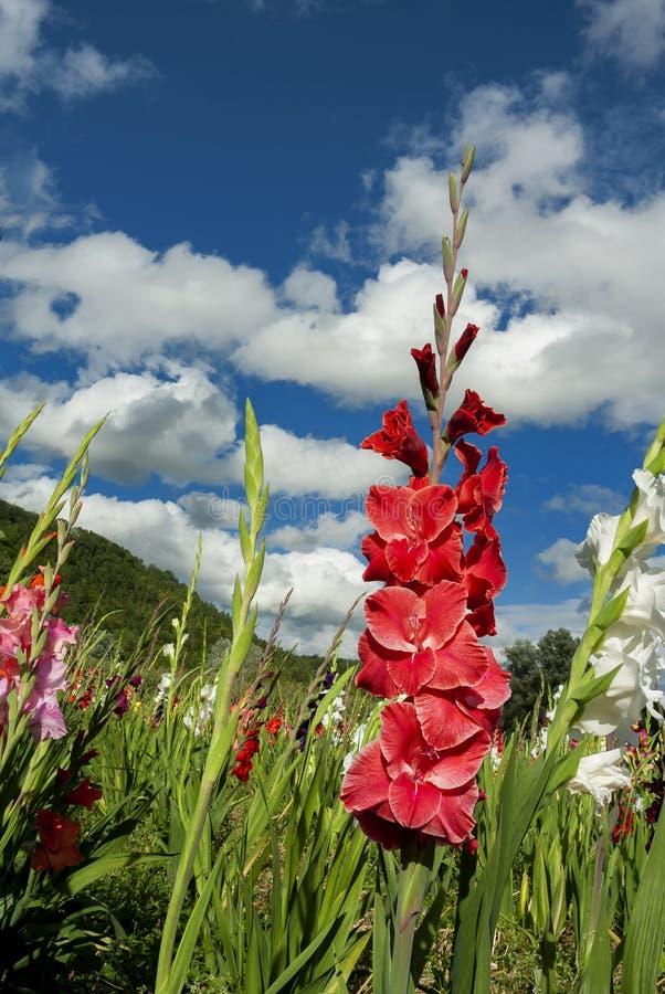 Gladioli i fält royaltyfria foton