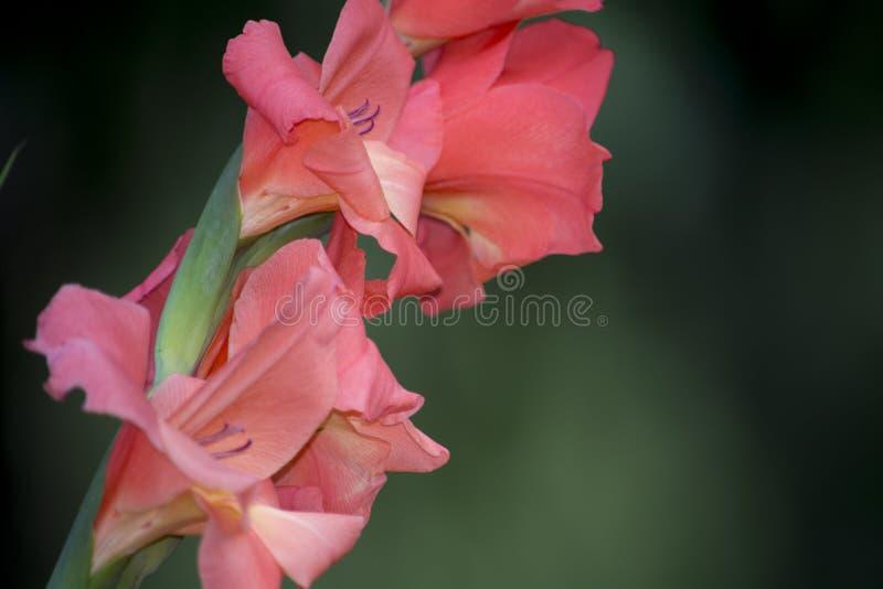 Gladiolis в цветени стоковое изображение rf