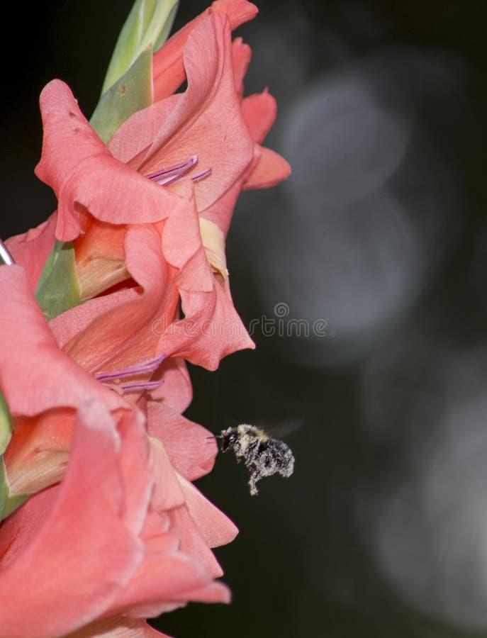 Gladiolis rossi in fioritura con l'ape fotografia stock libera da diritti