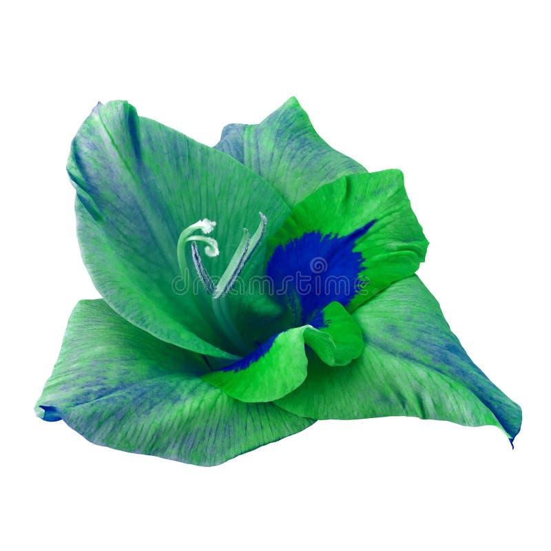 Gladiolo di verde blu del fiore isolato su fondo bianco con il percorso di ritaglio Fine del germoglio di fiore in su immagini stock libere da diritti