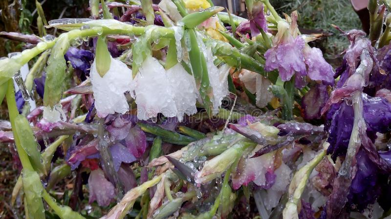 Gladiolo nel ghiaccio ghiaccioli sui fiori immagini stock libere da diritti