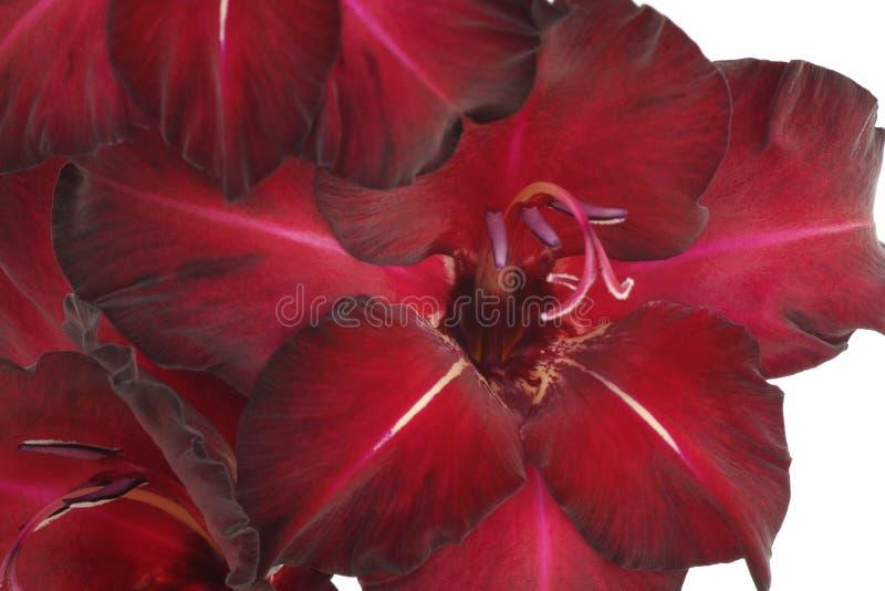 Gladiolo púrpura de la flor Aislado en blanco imágenes de archivo libres de regalías