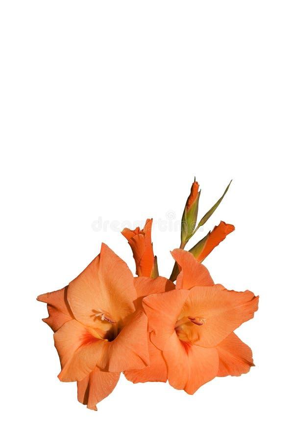 Gladiolus images libres de droits