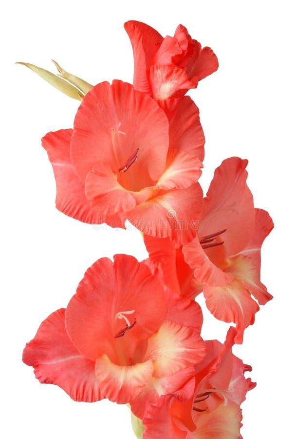 Gladiolus Stock Photos