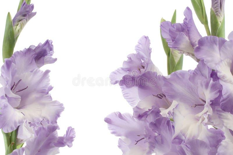 Gladiolus photos stock