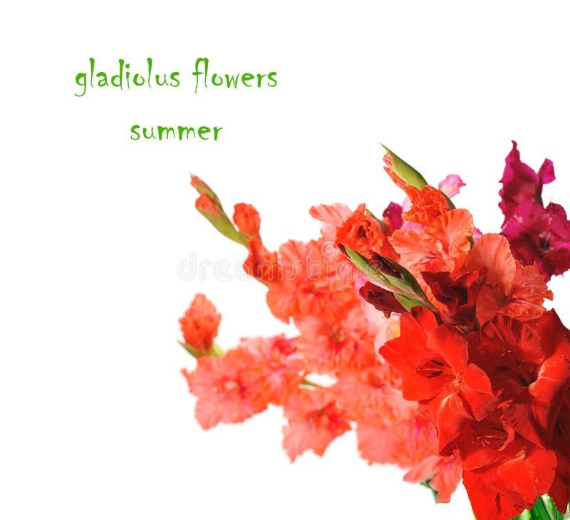 gladiolus obrazy royalty free