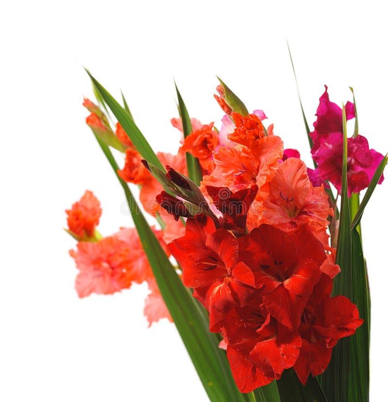 gladiolus obraz stock