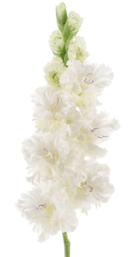 Gladiolus stockfotos