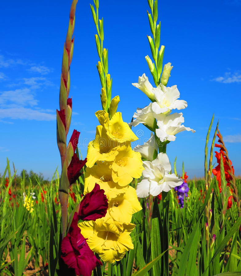 Download Gladiolus stock image. Image of color, garden, gladiolus - 26017467