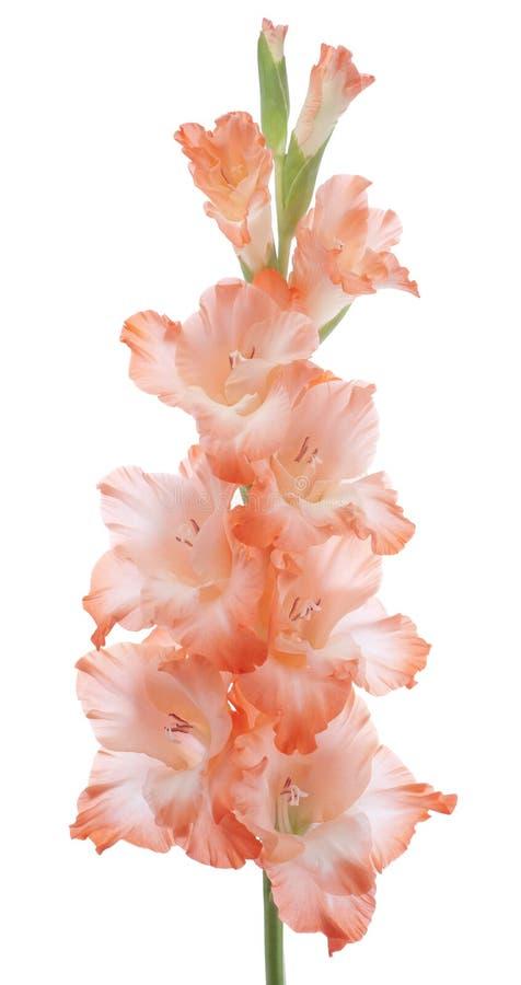 Gladiolus immagine stock