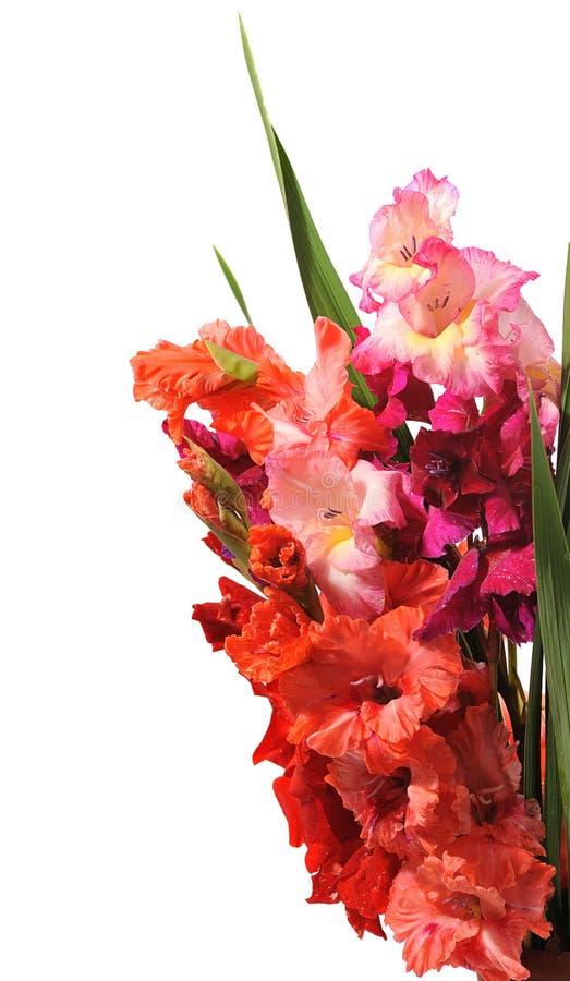 Gladiolus obrazy stock