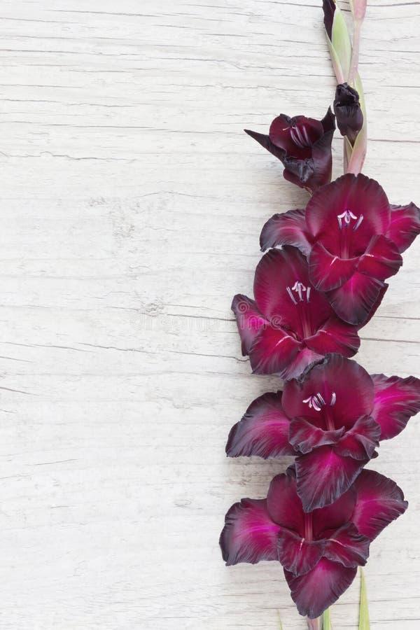 gladiolus immagine stock libera da diritti