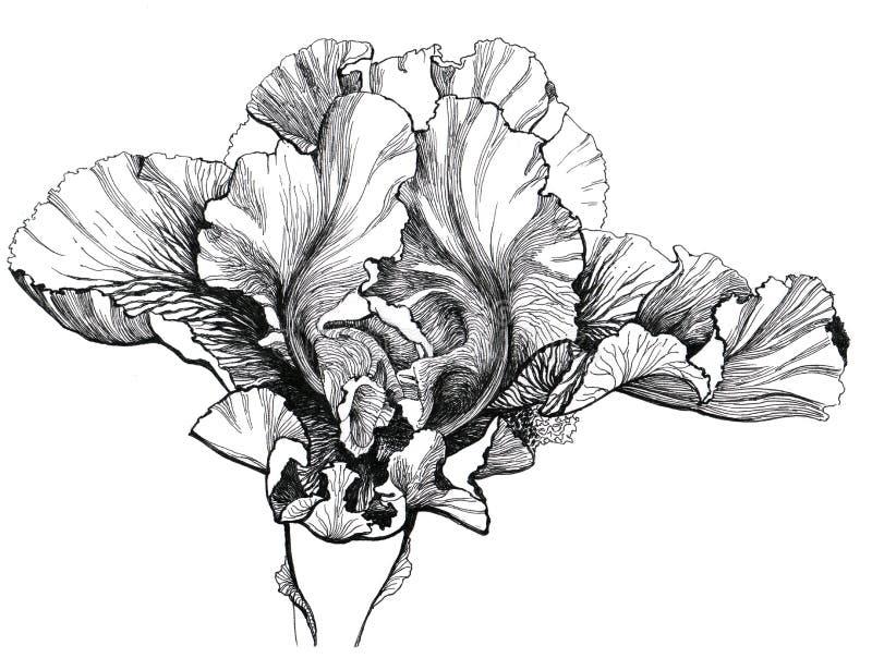 gladiolus royaltyfri illustrationer