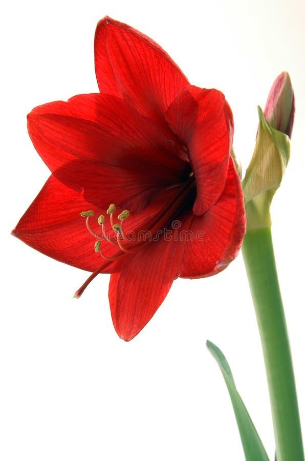 gladiolus royaltyfri fotografi