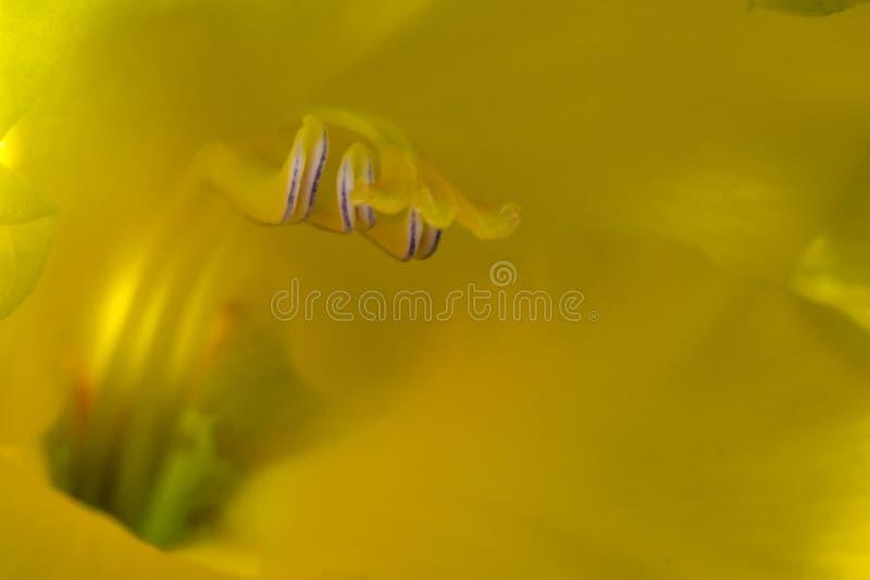 gladiolus stockfoto