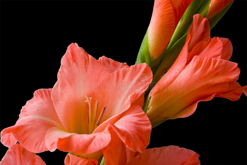 gladiolus zdjęcie royalty free