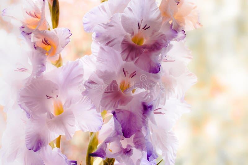 gladiolus fotografia royalty free