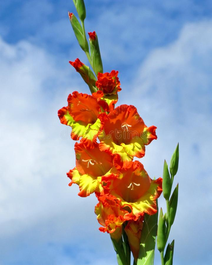 Gladiolus blooming, orange-yellow flowers, close-up royalty free stock image