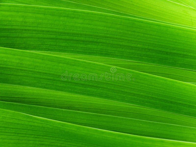 Gladiolus de fleur de lames photos libres de droits